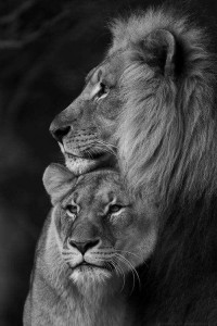 oroszlános háttér